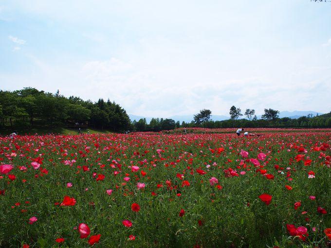 蔵王連峰をバッグに広がる一面の「お花畑」