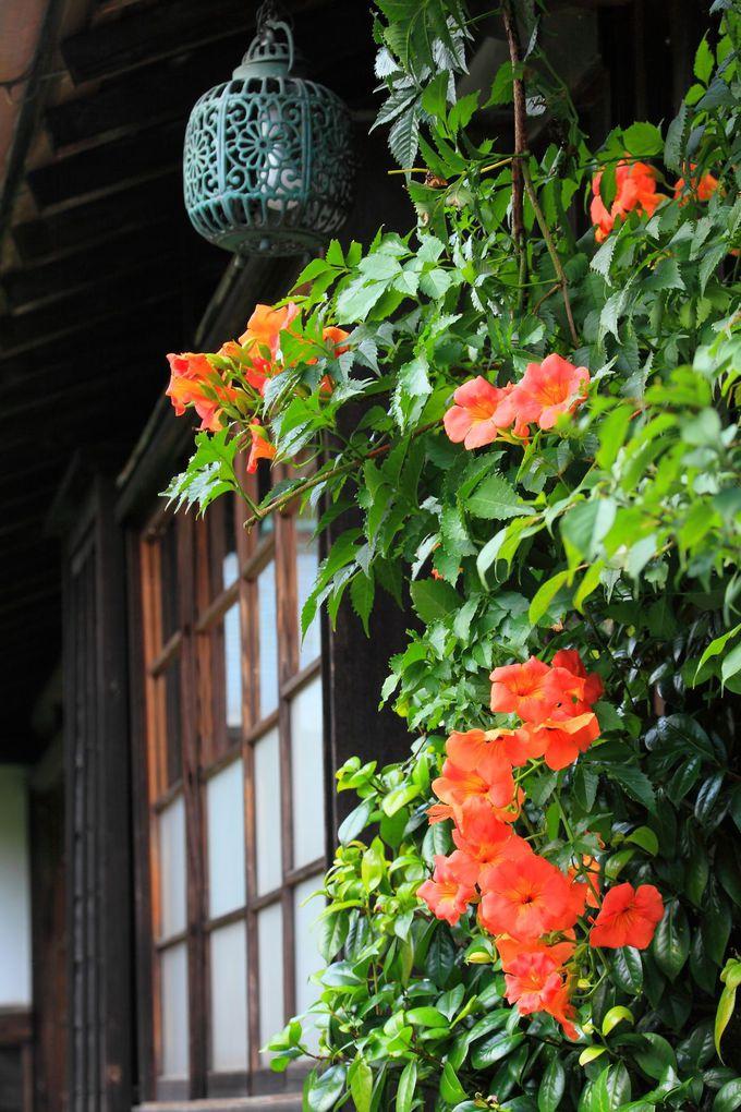 真夏の日差しを浴びて庫裏の壁面に絡みつくノウゼンカズラ