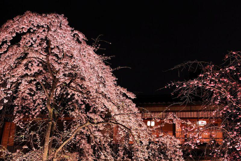 和と桜の共演ステージに感動!春に訪問すべき京都「祇園白川」