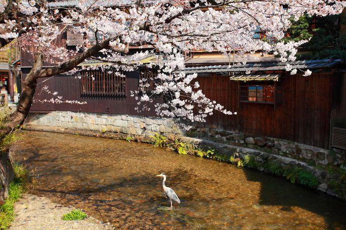 定時刻になるとどこからともなくやってくるアオサギと桜のコラボ