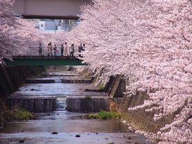 満開の桜が咲く東京「恩田川」で、お花見を兼ねた散策を楽しもう!|東京都|トラベルjp<たびねす>