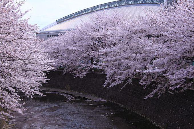 川の曲線美が桜並木を綺麗に見立てる、町田市総合体育館付近の「成瀬中央橋」