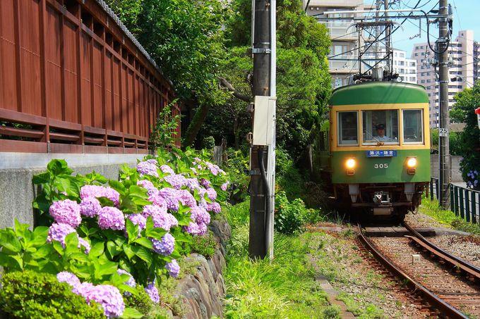「湘南海岸公園駅前」の「善乃園」沿いに咲く紫陽花と江ノ電のコラボレーション