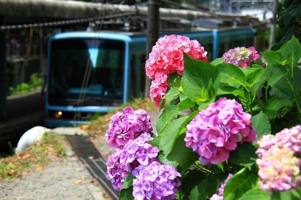 紫陽花と江ノ電を様々なアングルで捉えることができる「極楽寺駅」