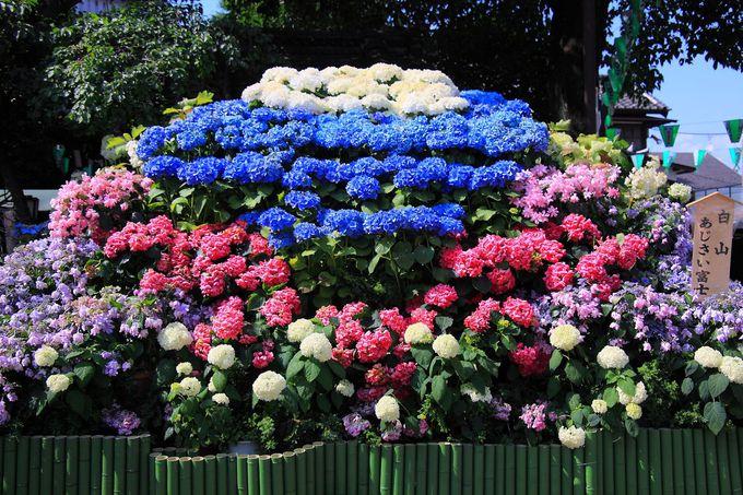 イベント期間中に盛られる紫陽花の富士塚は色彩鮮やか!
