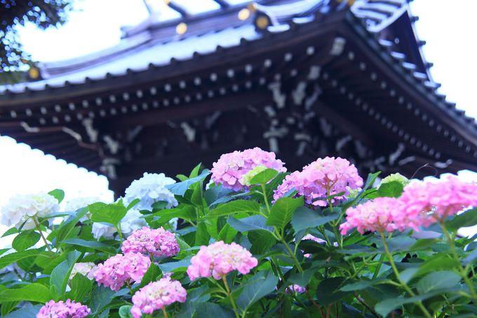 境内の和建築と様々な色の紫陽花とのコラボレーションは「和」を象徴!