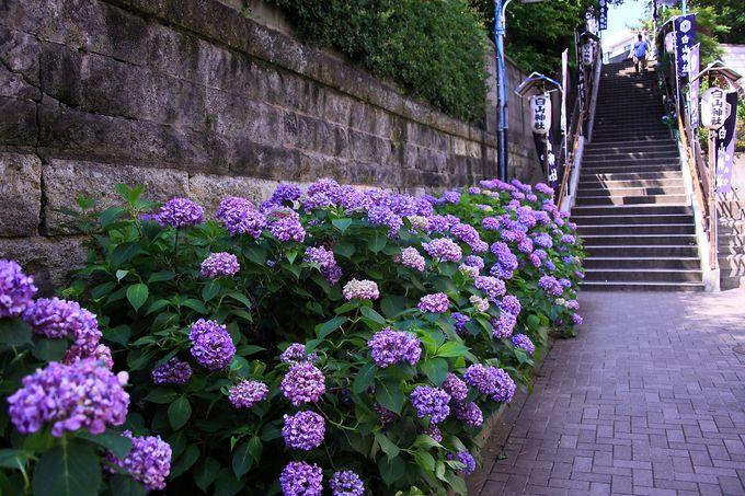京華通り商店街側の北側参道階段脇には満開の紫陽花が咲き乱れる!