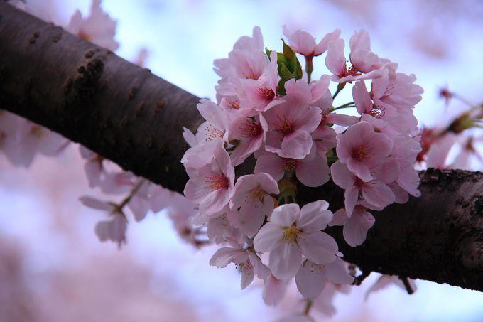中には可愛らしい形で咲く桜の花も!
