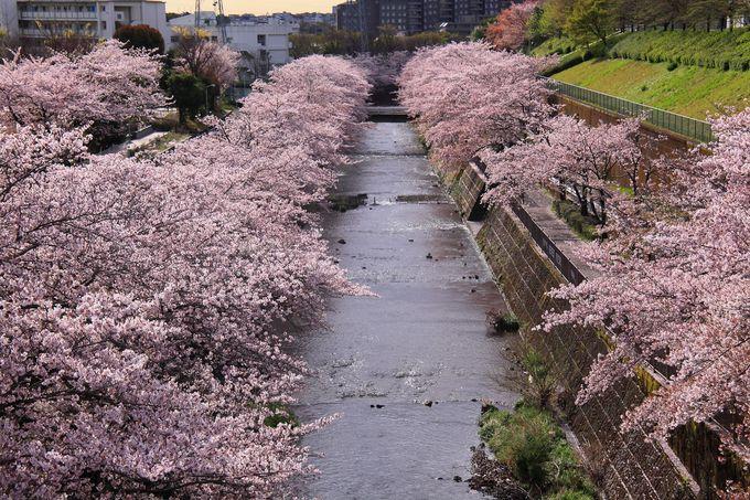 「西山橋」から見えていた主要道路の歩道からは桜並木を俯瞰!