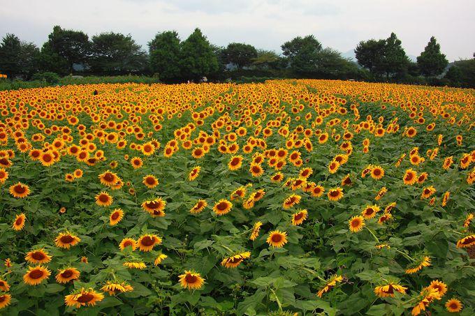 黄色い絨毯を敷き詰めたかのような座架依橋南のひまわり畑