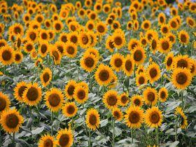 黄色い絨毯の絶景!神奈川県座間市の座架依橋周辺ひまわり畑|神奈川県|トラベルjp<たびねす>