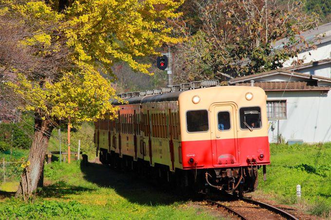 S字カーブを走る小湊鐵道とイチョウの木のコラボ「里見駅付近」