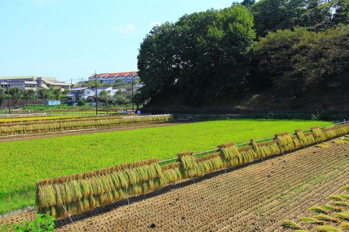 エリアによっては稲が刈り取られた水田も!