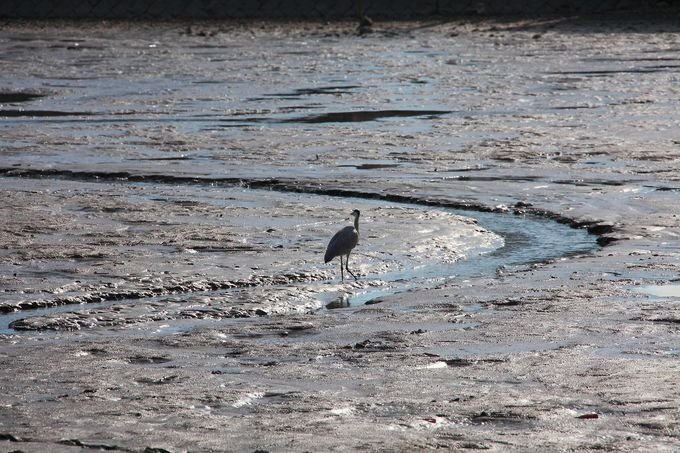 毎年12月に見られる「池ざらい」状態の「広沢池」も見ごたえあり!
