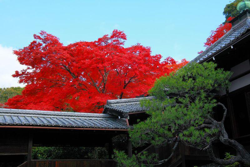 樹齢350年のタカオカエデに仰天!晩秋の京都白川「霊鑑寺」