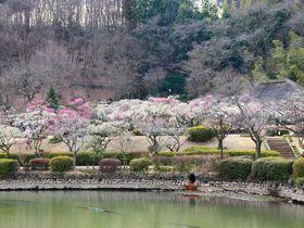 ピクニック気分で梅林観賞しよう!東京都町田市「薬師池公園」|東京都|トラベルjp<たびねす>