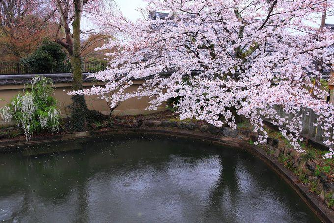 「金戒光明寺」では意外に少ない水辺エリアの桜観賞スポット!