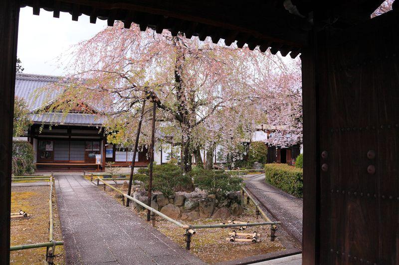 山門を潜って桜色の世界へおいでやす!春の京都「上品蓮台寺」