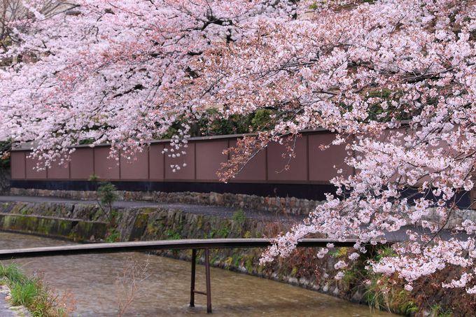 平安神宮の門前から南下してすぐのエリアには桜並木が!