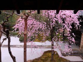 枝垂れ桜が満開の白砂庭園に釘付け!?京都西陣「妙顕寺」|京都府|トラベルjp<たびねす>