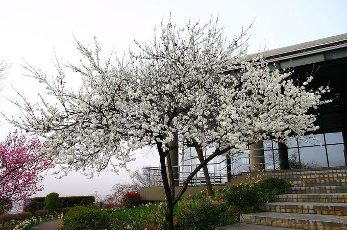 「釈迦堂遺跡公園」の園内も春色満点!