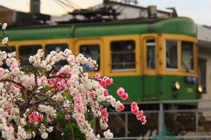 線路沿いの畑に植えられた枝垂れ桜とのコラボ!「鵠沼駅〜湘南海岸公園」