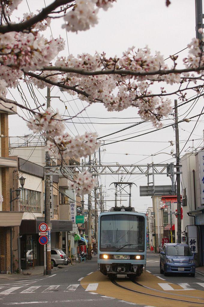 併用区間を走る「江ノ電」と桜のコラボ!「江ノ島駅」付近
