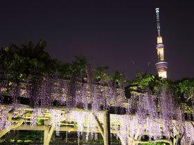 日没後が狙いどき!藤が咲き乱れるGWの東京「亀戸天神」