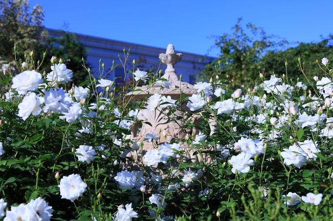 広々とした園内はあちこちにバラの花が咲き乱れる!
