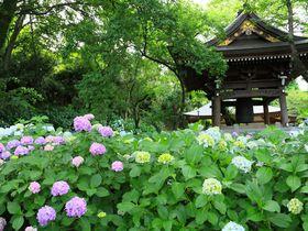 狭い境内に紫陽花群生は大迫力!川崎のあじさい寺「妙楽寺」|神奈川県|トラベルjp<たびねす>