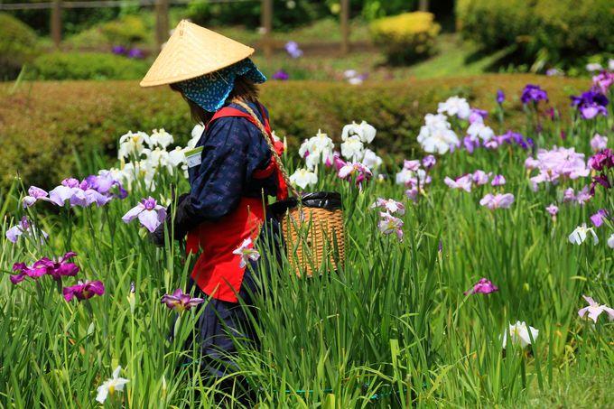 タイミングが良ければ菖蒲が咲く湿地を手入れする人も!