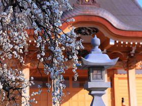 隠れた梅の花の名所は眺望もよし!町田郊外の「養運寺」