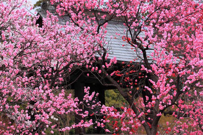 桜と花桃に囲まれた境内で癒し気分を味わおう!山梨「放光寺」