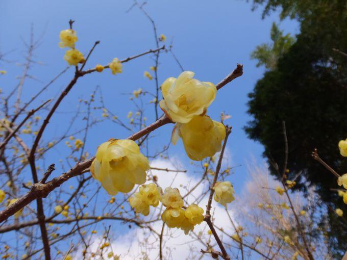 ロウバイとは、どんな花?