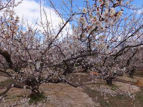 3万5千本の可憐な白梅が咲く曽我梅林をそぞろ歩く!小田原梅まつり|神奈川県|トラベルjp<たびねす>