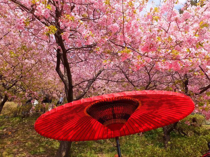河津桜のピンクに染まる山は都心からアクセス抜群