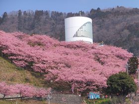 神奈川県松田町・河津桜でピンクに染まる山はミニ鉄道など楽しみが一杯!|神奈川県|トラベルjp<たびねす>