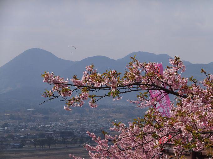 ピンクの桜と黄色の菜の花の競演