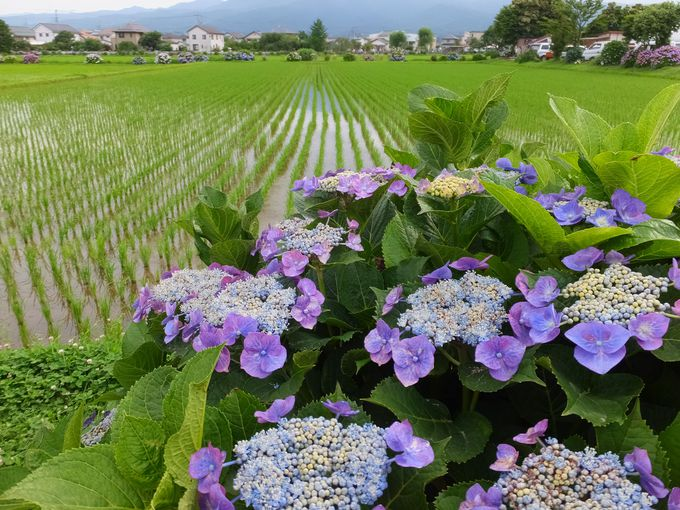東京ドーム約3.6個分の水田地帯に咲くあじさいの花