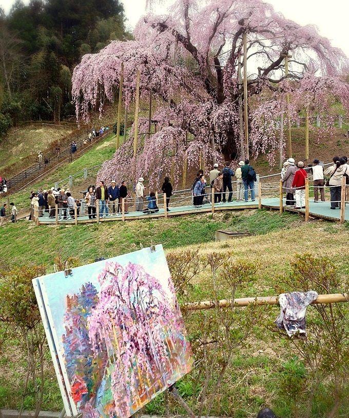 福島・三春の春を彩るベニシダレサクラ、歩いて回る名木5選