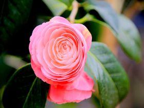 寒い冬にさらば!伊豆大島の「椿まつり」で一足早い春を感じよう|東京都|トラベルjp<たびねす>