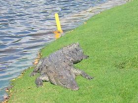 メキシコ「イベロスターカンクン ゴルフクラブ」のキャディは野生のワニ!?