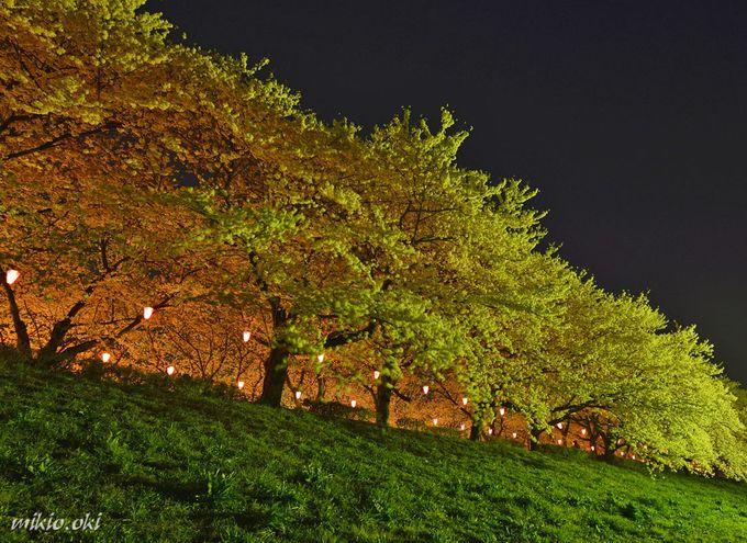 権現堂堤のライトアップ〜幻想的な魅惑の夜桜