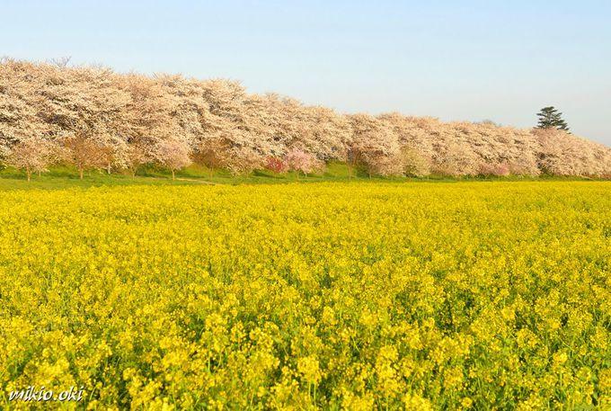 桜の名所・権現堂堤〜桜並木と菜の花畑の共演