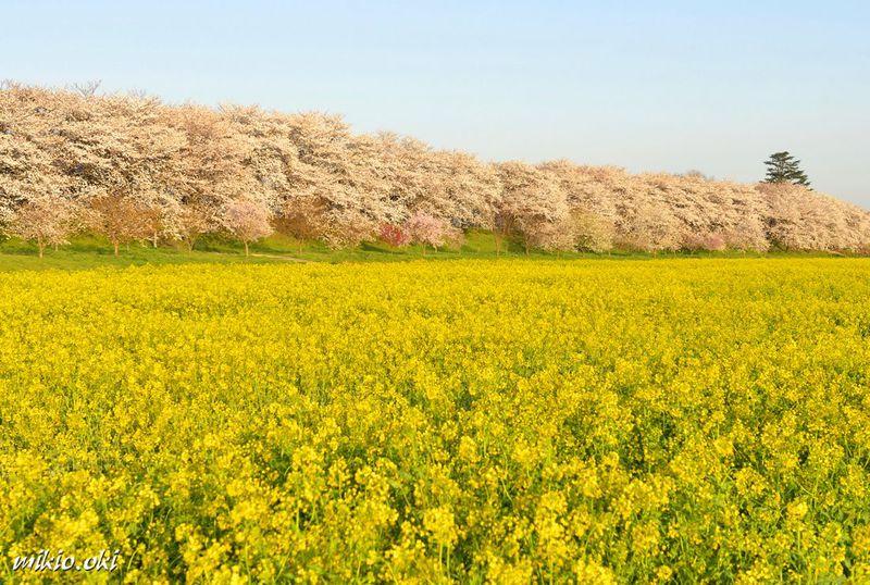 埼玉を代表する桜の名所・幸手権現堂堤〜青空を切り取る広大な菜の花畑と桜並木