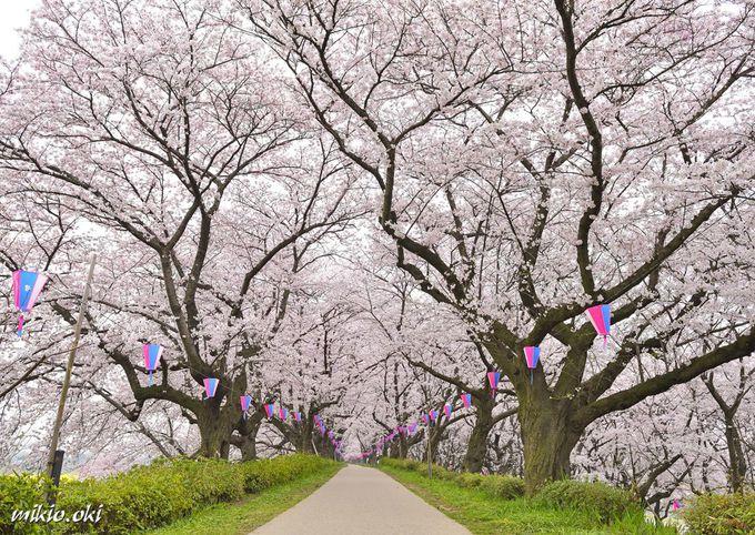 権現堂堤の桜並木〜絢爛たる花道のトンネル