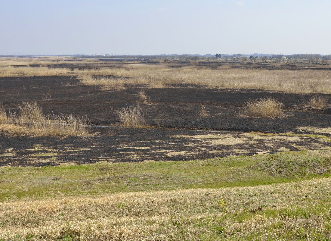 ヨシ焼き後の景観・第1調節池のヨシ原