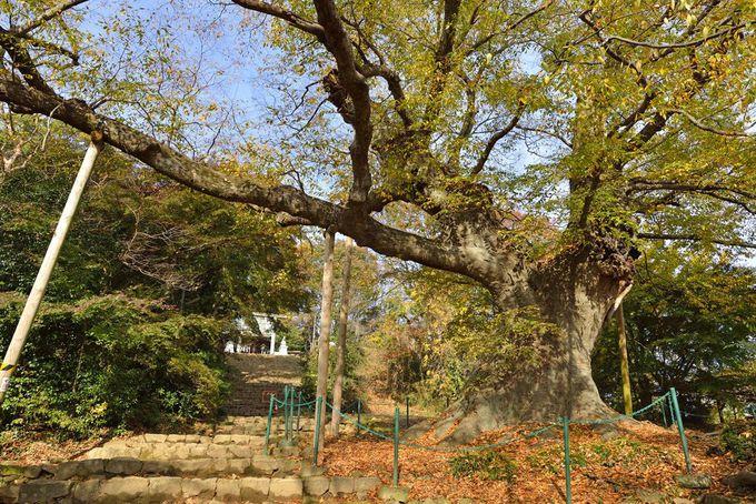 金山城の見どころ「本丸跡の新田神社」と「大ケヤキ」