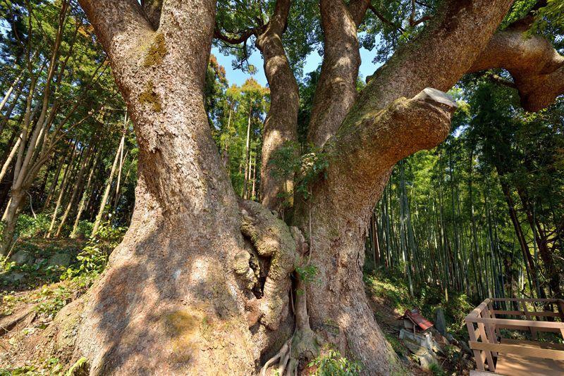 埼玉県で最大の巨木「上谷の大クス」越生町の里山に立つ関東最大のクスノキ