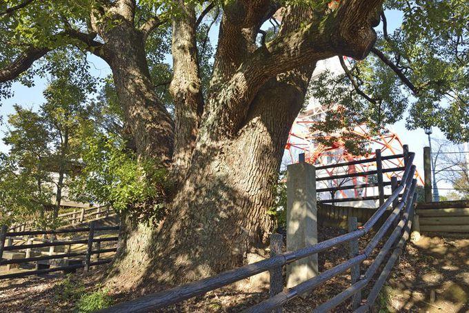 関東地方にある他のクスノキの巨木